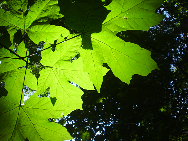 Maple Leaves in Summer
